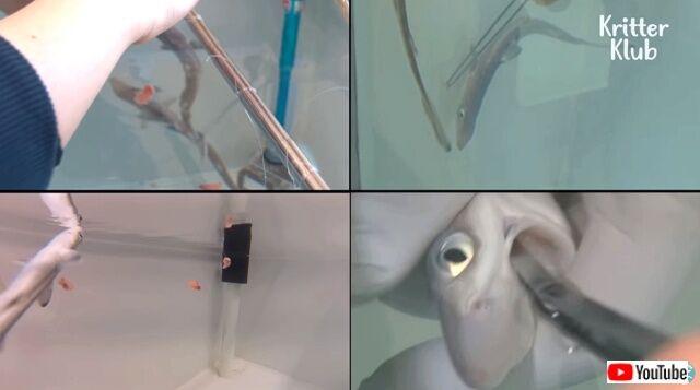 sharkgavebirth10_640