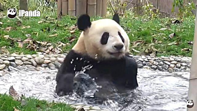 pandaofuro1