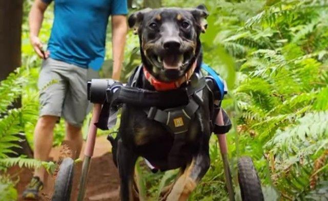 wheelchairdog0_e