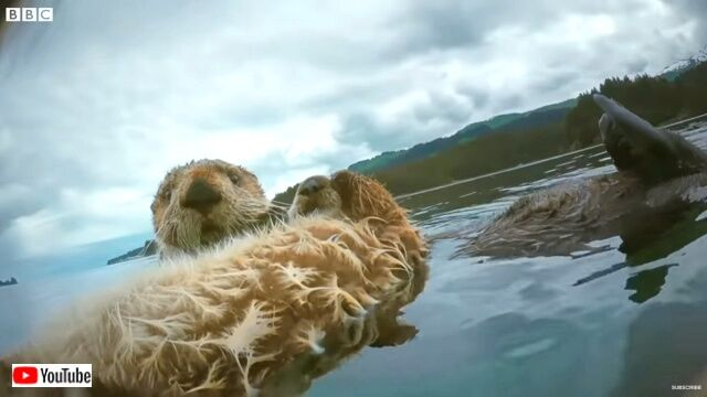 seaotters2_640