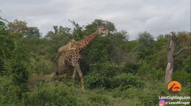 giraffenlion2_e