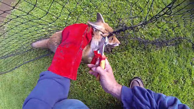 foxrescue5