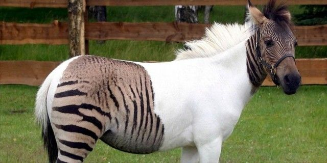 Zebroid1-949x475_e