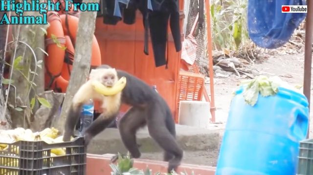 monkeythief0_640