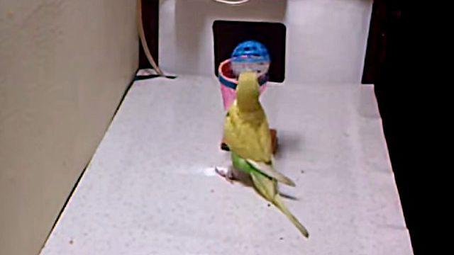 Parakeet7