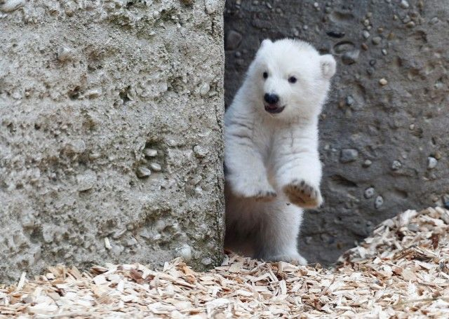 winking-polar-bear-cub-germany-2-58b7ce2981eb9__880_e