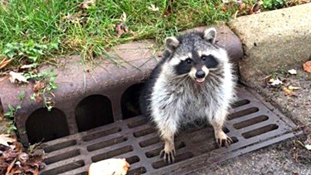 raccoon_ea