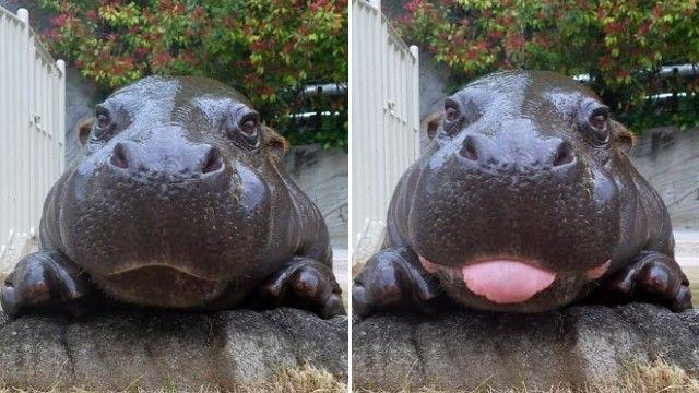 hippo-1_e