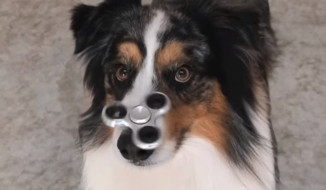 spinnerdog1_e