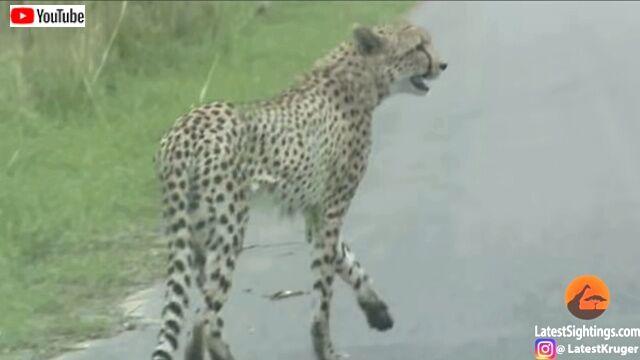 cheetahnleopard4_640