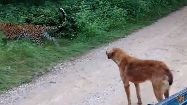 leopardvsdog4_e