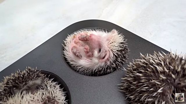 HedgehogMuffins5