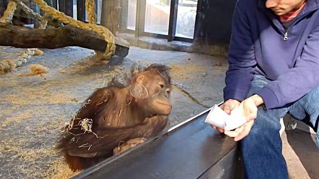 orangutanmagic2