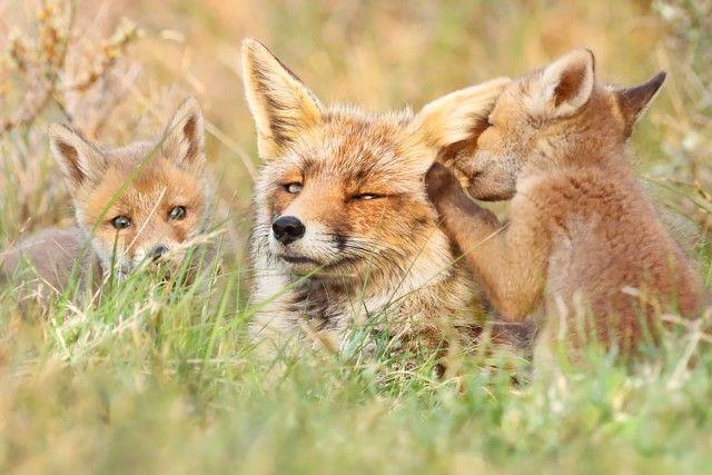 fox3_e
