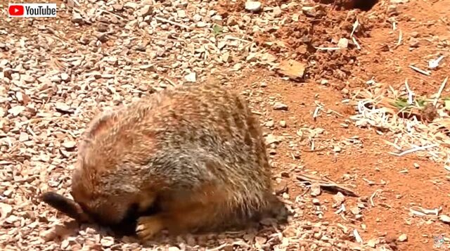 meerkat5_640