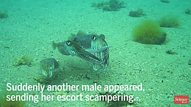 cuttlefish0