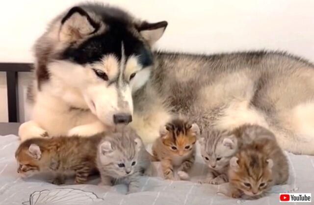 犬と子猫の優しい時間。ハスキーの優しいまなざしに見守られてのびのび遊ぶ子猫たち