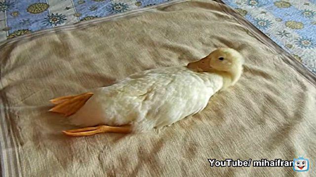 ducknvacuum1