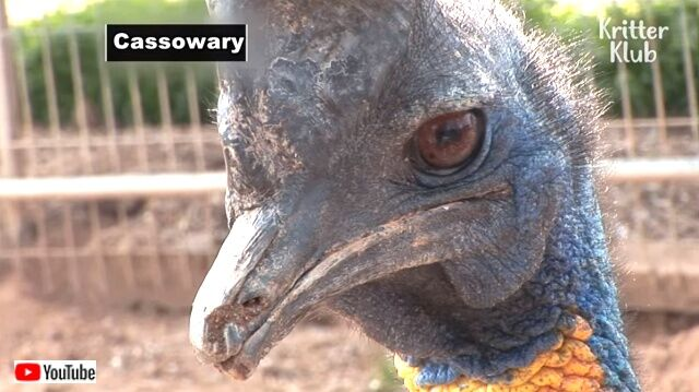 cassowarybird0_640
