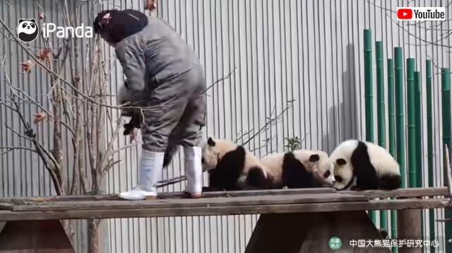 pandaswalking5_640