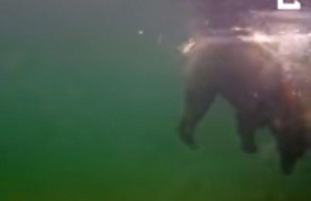 bearcatchingfish4_e