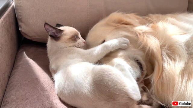 kittenlovesgolden5_640