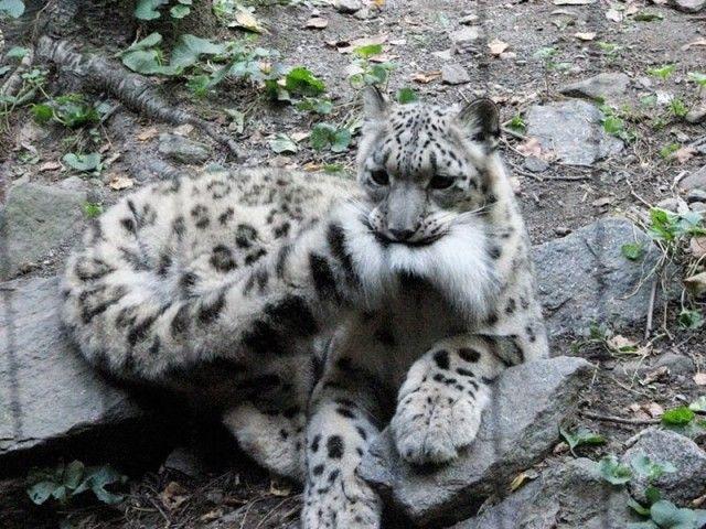 snowleopards2_e