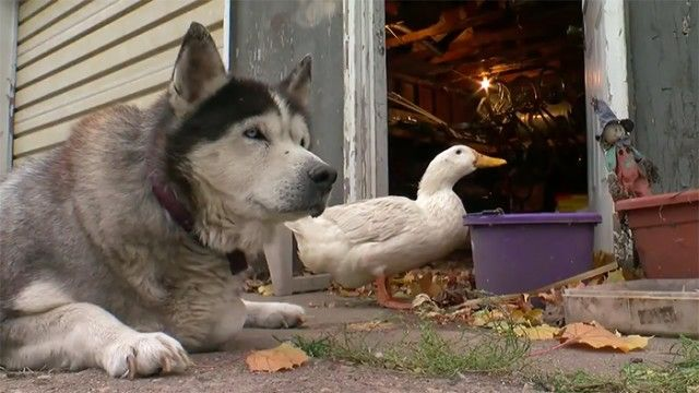 dog-duck-friendship-max-quackers6