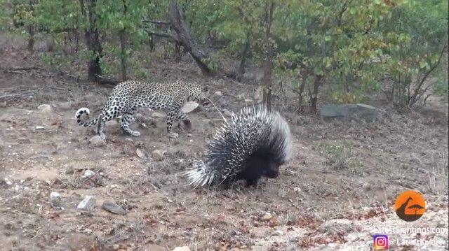porcupinenleopard2_e