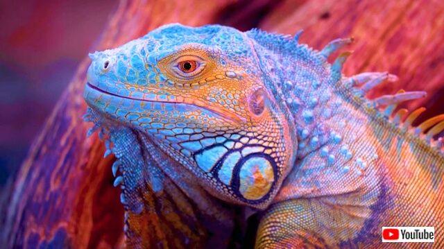 iguanas1_640