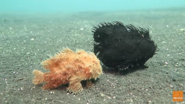 frogfish0_e