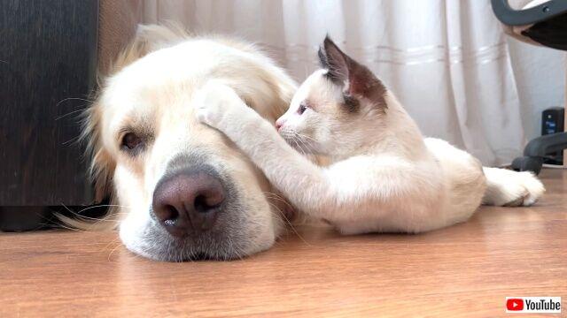 kittenlovesgolden1_640