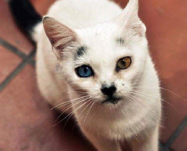 Heterochromic-Eyed-Cat-10_e