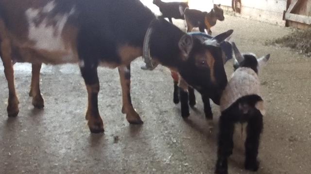 goat-3_e