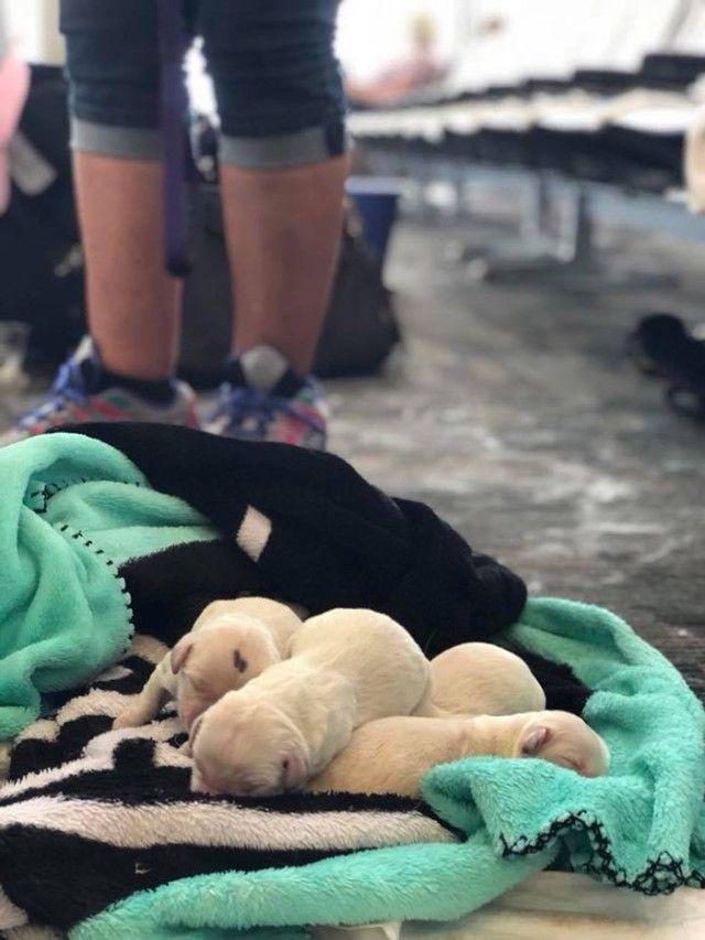 m4lel-service-dog-gives-birth-at-airport-4_e