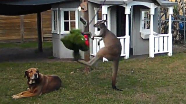 kangaroohippo1