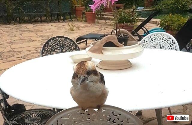 kookaburras1_640