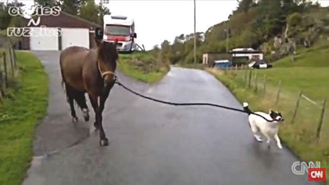 dogpullshorse3