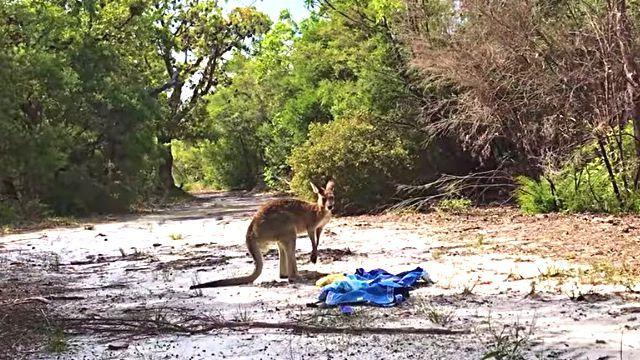 kangaroorescue5