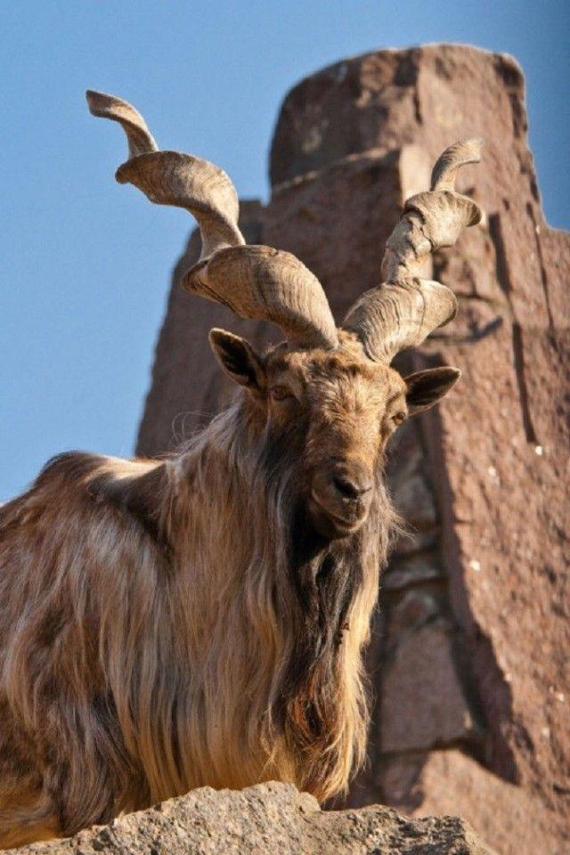 goat3_e