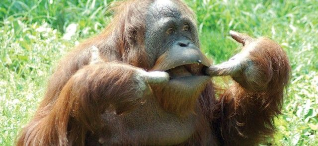 hdr_anm_orangutan_e