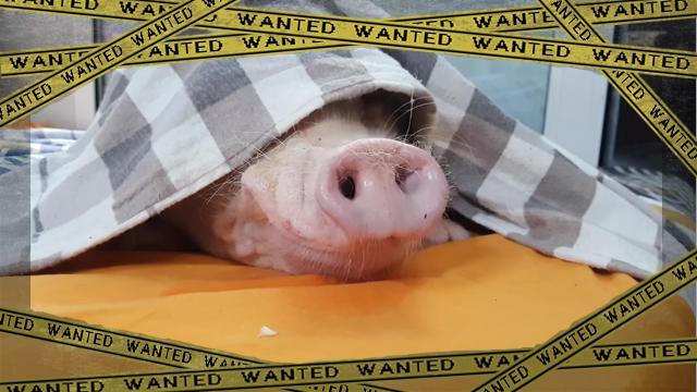 pig-f [www-frame