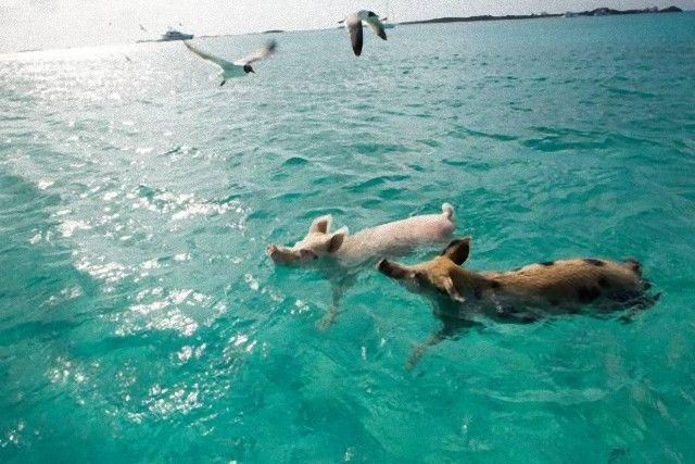 exum_swimming_pigs_065_e