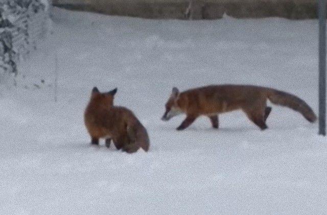 foxinthegarden4_e