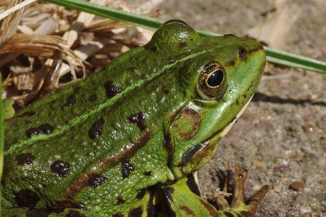 frog-166010_960_720_e