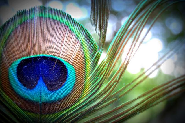 Peacock-Plume_e