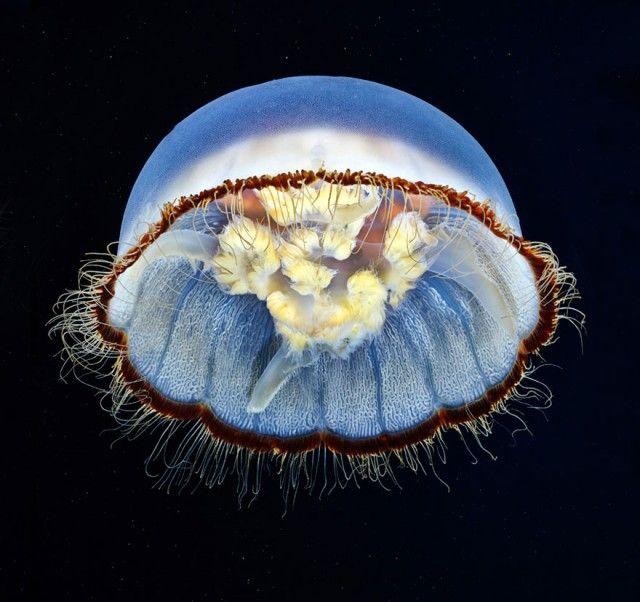 underwater-jellyfish-alexander-semenov-aquatis-30_e