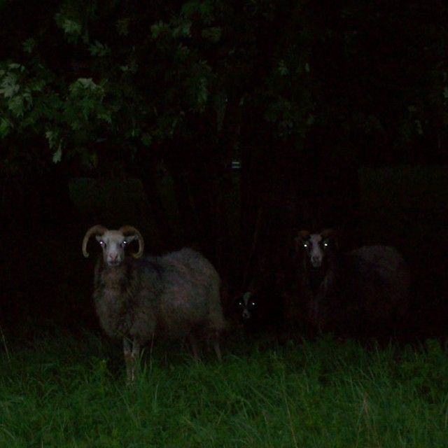 creepy-sheep16_e