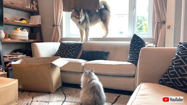 「ゴメンナサイって言ってるのに…!」ボス猫の逆鱗に触れてしまったらしいマラミュート、逃げる!