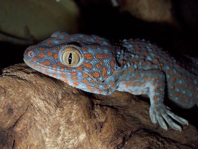 1200px-Gekko_gecko_(head)_by_Robert_Michniewicz_e